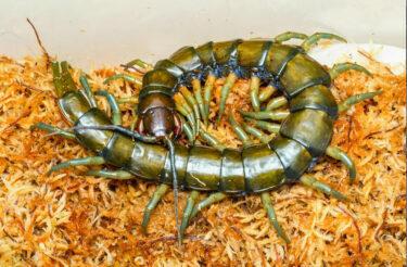沖縄の大型新種ムカデが「リュウジンオオムカデ」と命名 「かっこいい名前」と話題に